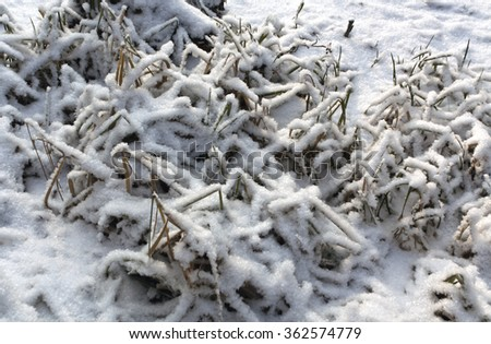 Faded reed on frozen snowy lake. Winter background. - stock photo