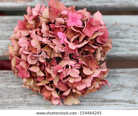 Fading pink hydrangea flower head on shabby chic wooden bench, an autumnal , vintage feel, A faded romantic,  grunge floral  image with shallow depth of field - stock photo
