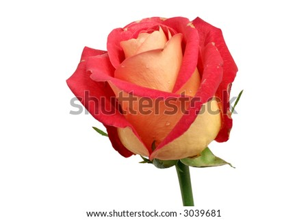 fading rose with drops of dew. Isolated on white. - stock photo