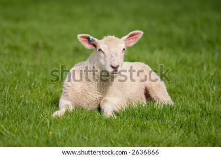 Fairly New born Lamb - stock photo