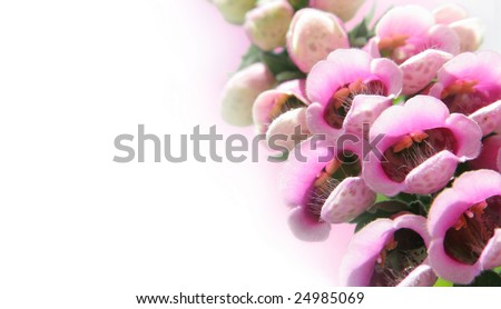 Fairy's delight - foxglove flowers isolated on white background - stock photo