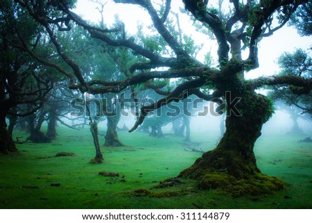 Fairy Trees, Laurel Forest in Madeira, Portugal - stock photo