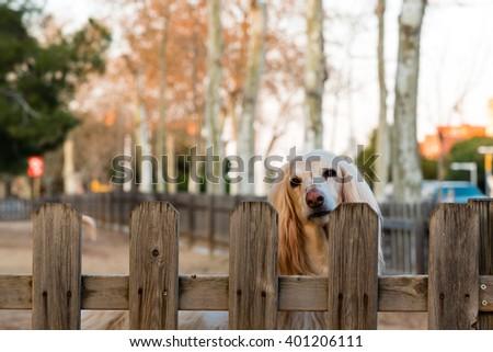 faithful blond dog awaiting its owners return - stock photo