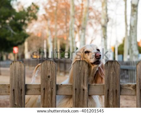 faithful blonde dog awaiting its owners return - stock photo