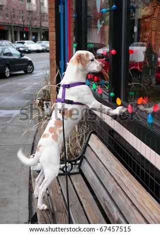 Faithful brown and white dog stares longingly in window while waiting for its master to return - stock photo