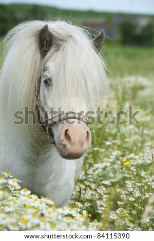 Falabella horse in the tall grass - stock photo