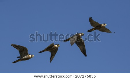 Falco peregrinus, flying sequence with blue sky in attack, falconry, peregrine falcon. - stock photo