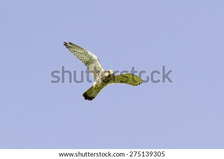 Falco tinnunculus / common kestrel, female in flight - stock photo