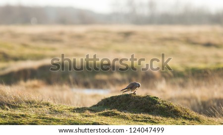 Falcon eating it's prey on a small hill in a field