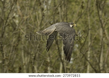 Falcon, flying lanner falcon in a forest. - stock photo
