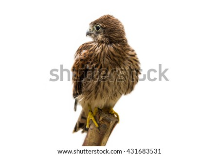 Falcon isolated on White background