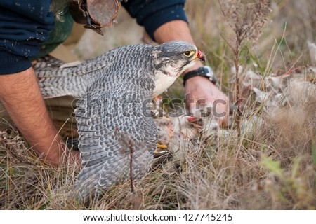 Falcon on a duck hunt. Bird of prey plucking the feathers of the duck it caught moments earlier.   - stock photo