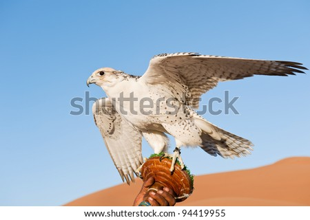 Falcon on a leash in a desert - stock photo