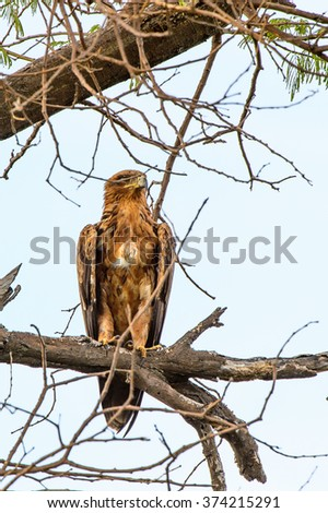 Falcon on a tree at the Moremi Game Reserve (Okavango River Delta), National Park, Botswana