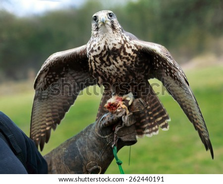 falcon on handlers hand preparing for eating