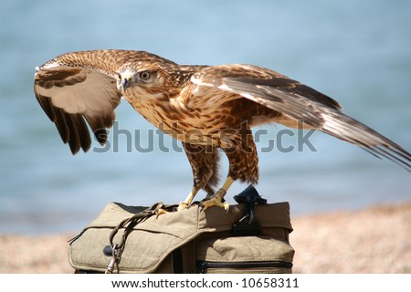 Falcon on the bag - stock photo
