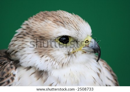 Falcon Portrait - stock photo