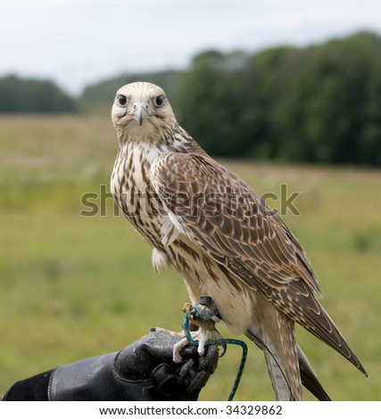 Falcon sitting on a glove - stock photo