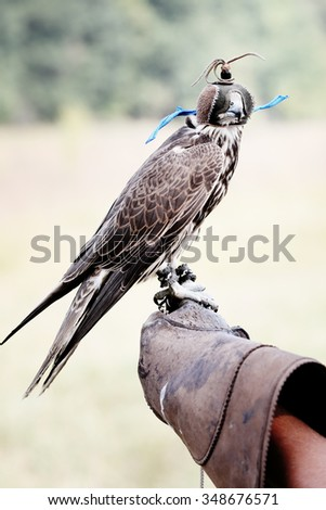 falcon wearing its hood. Falcon sitting on leather glove - stock photo