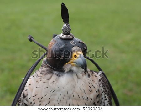 Falcon with a cap on the head to keep him asleep - stock photo