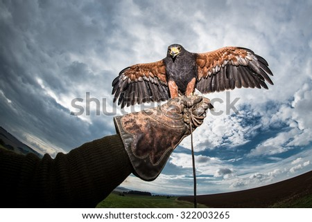 Falconer gloves with a ferocious and wild predators Harris's Hawk and cloudy sky and cloud - stock photo