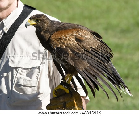 falconer holding harris hawk on glove - stock photo