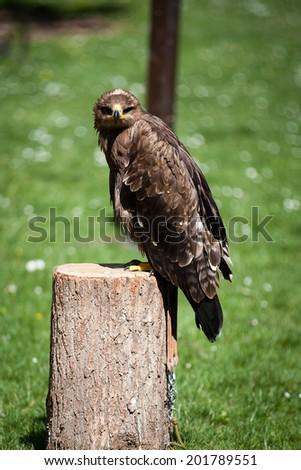 Falconry Bird of prey, caracara - stock photo