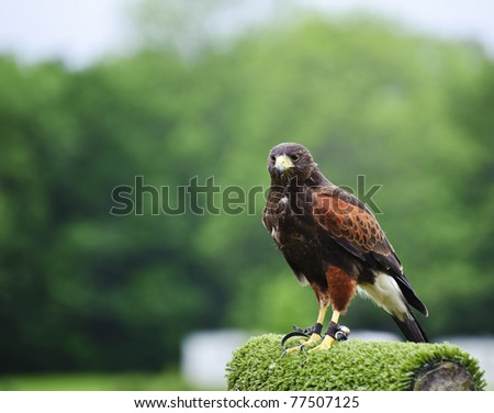Falconry display featuring harris hawk parabuteo unicinctus - stock photo