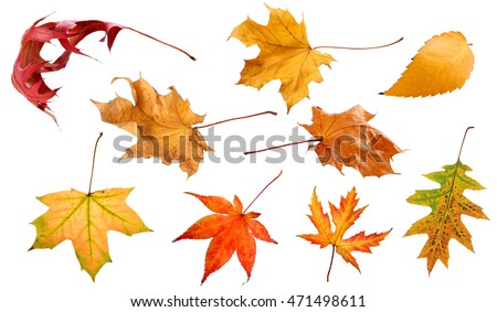 Fall and autumn leaves isolated on a white background leaves collage