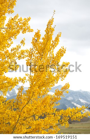 Fall Aspen Yellow Leaves on Mountain - stock photo