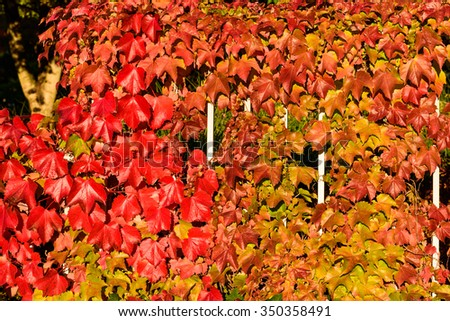 Fall color, colorful fall vines on a metal fence