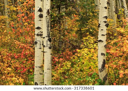 Fall colors background with aspen trees, Utah, USA. - stock photo