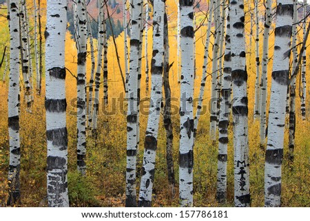 Fall colors in an aspen grove with large trees, Utah, USA. - stock photo