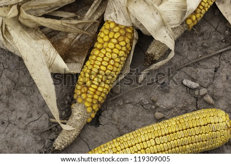 fall corn on soil earth indian yellow dried - stock photo