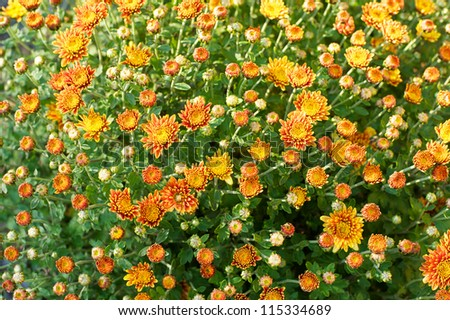 Fall flowers - stock photo