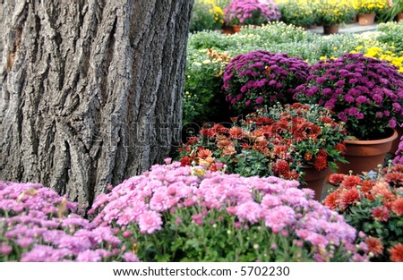 Potted mums stock images royalty free images vectors shutterstock - Potted autumn flowers ...