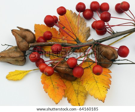 Fall foliage and berries against a white background