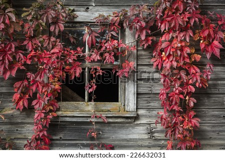 Fall foliage in front of an old barn, Quebec, Canada - stock photo