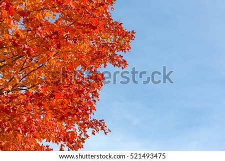 Fall foliage red maple tree leaves against a blue sky with wispy clouds.