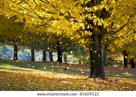 Fall Foliage Yellow Maple Leaves Falling From Tree in Autumn with squirrels and morning sunlight - stock photo