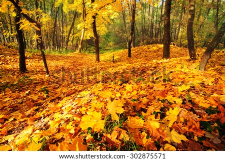 Fall forest with golden maple leaves covering the ground - stock photo