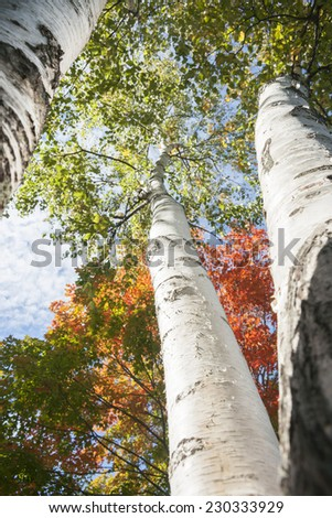 Fall leaf colors looking upwards through trunks of silver birch trees. - stock photo