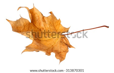 Fall leaf isolated on a white background   - stock photo