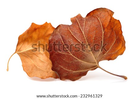Fall leaf isolated on white background - stock photo