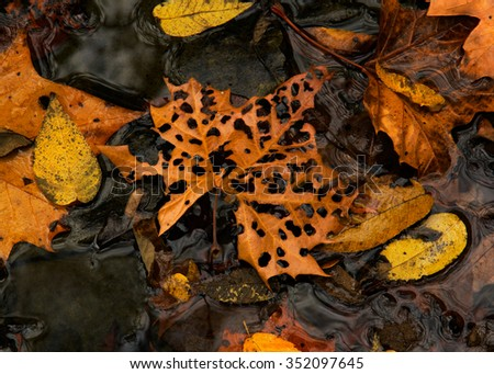 Fall Leaf with holes in a water puddle with other leaves. - stock photo