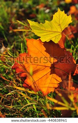 Fall leaves in grass season backlight - stock photo