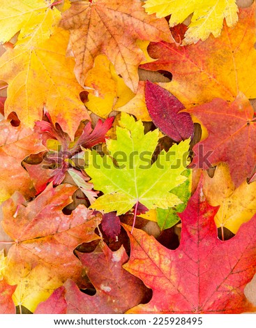 Fall Leaves or Autumn Leaves - stock photo