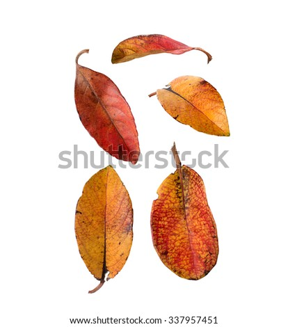 Fall Leaves Red and Yellow isolated on white background - stock photo