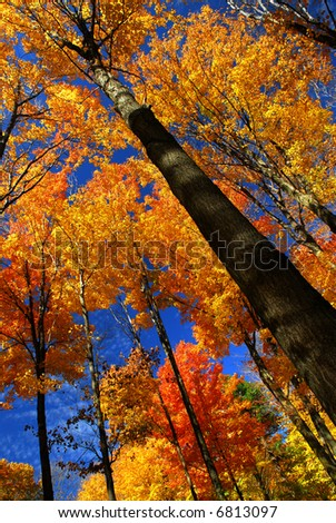 Fall maple trees on warm autumn day - stock photo