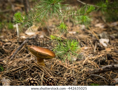 Fall mushroom in the forest